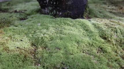 「玄関前を竹垣(みす垣)で目隠しした庭空間」福田邸 使用したホソバシラガゴケ
