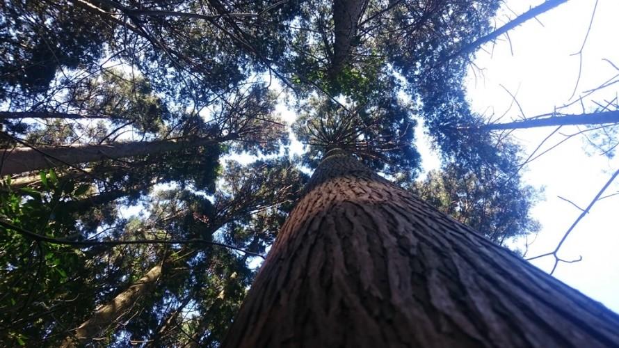 子どもと見上げた杉の木