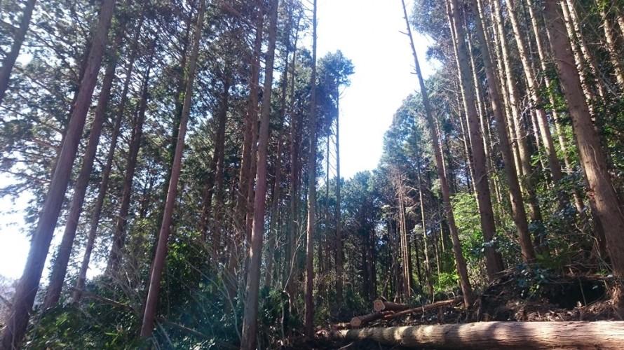 伐採が進みドンドン光が差し込み林が明るくなってい