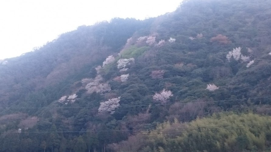 島根県大田市にある和田造園の窓から眺めた山並みの山桜