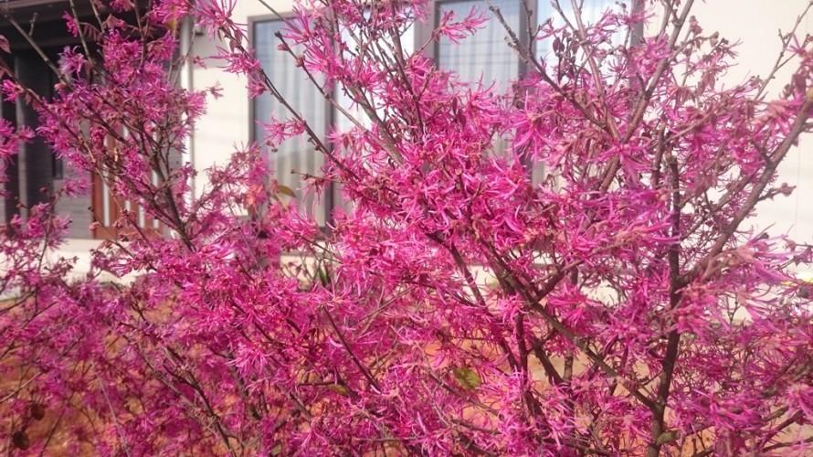 紅トキワマンサクの花